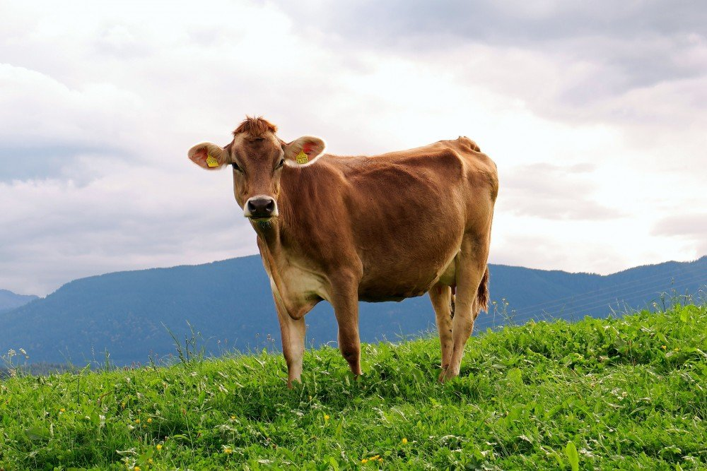 Cow on a farm in Bavaria.