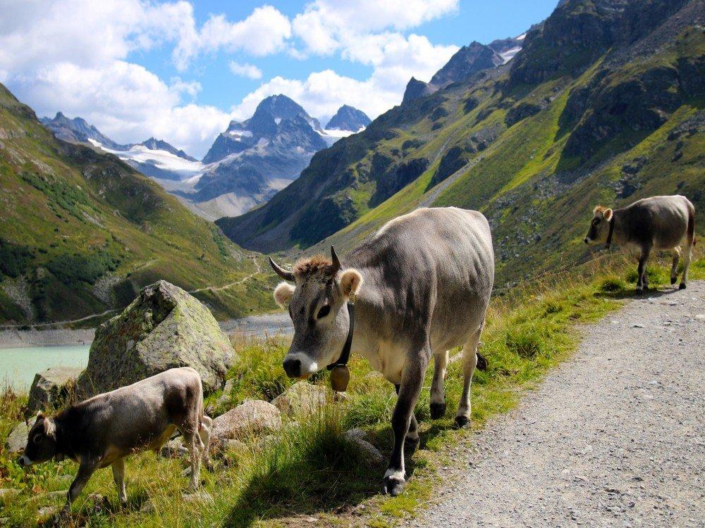Cows on a farmstay in Austria