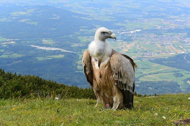 Alpine Vulture, Salzburg Austria