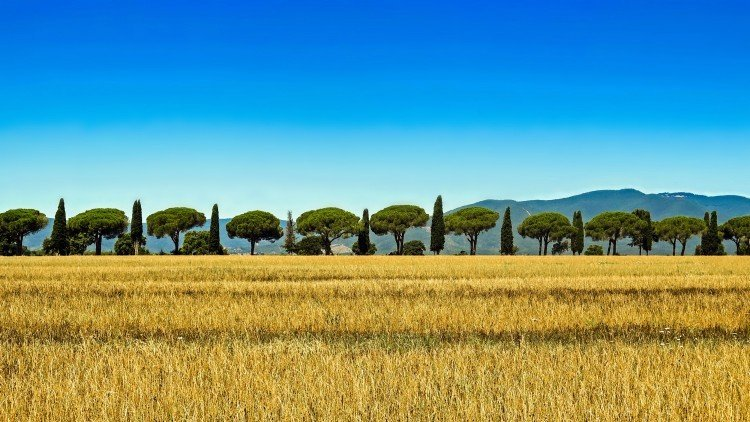 Wheat fields and cedar trees at an agriturismo in Chianti, Tuscany.