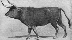 auroch-heck-cattle