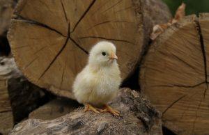 chicken on farm