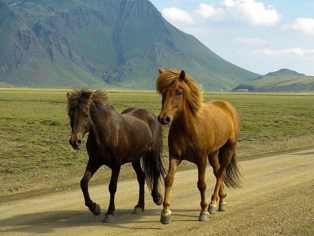 Horses on Landmannalaugar, Iceland