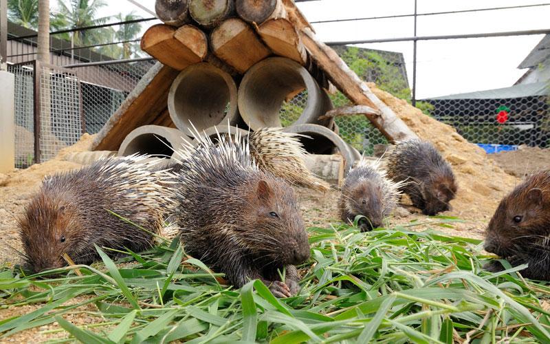 porcupine11179