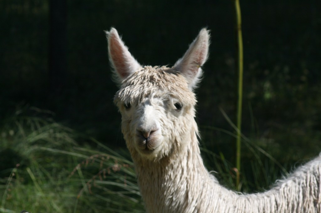 alpaca-swan-valley-farmstay-perth