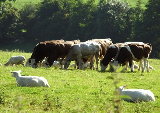 somerset-farm-cattle