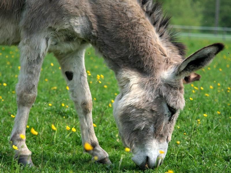 donkey-agritourism-normandy-ferme-tuliere-1
