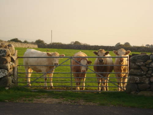 cattle-on-luxury-farm-stay-wales
