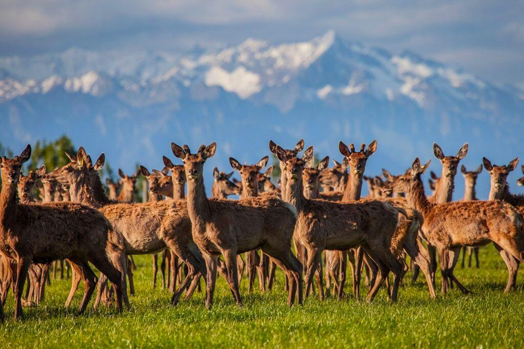 Deer-at-SQ