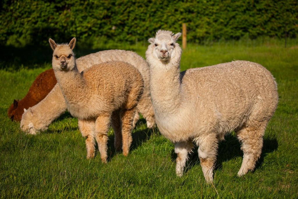 alpacas-farmstay-wanaka