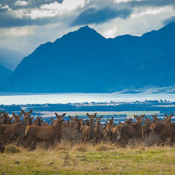 deer-at-farmstay-wanaka-otago-south-island-nz