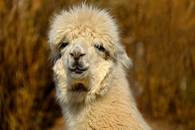 Family Friendly Alpaca Farm Stay in Hunter Valley, NSW.