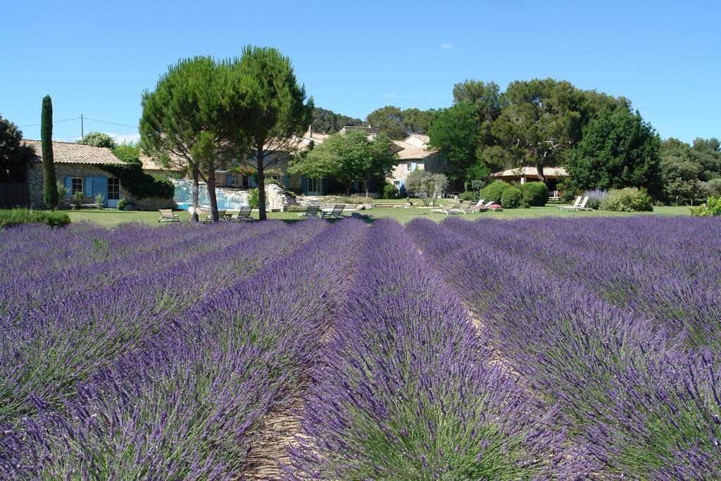 Lavender fields at Le Mas de la Rose Provence farmstay