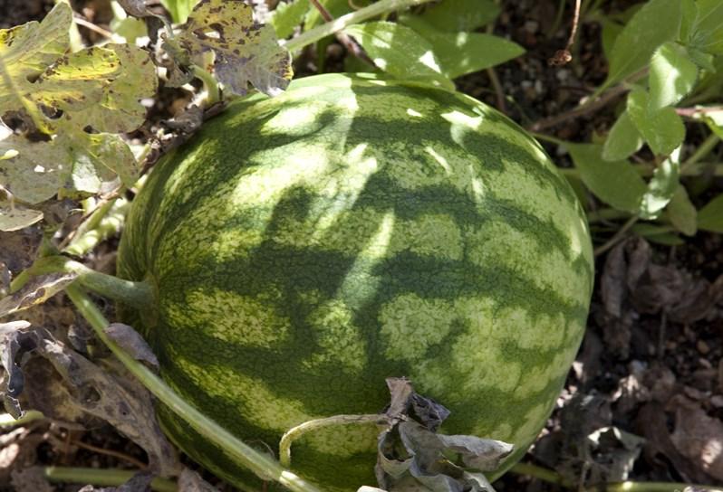 Crosby-Garden-Watermelon