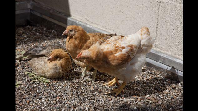 crosby-hotel-hens
