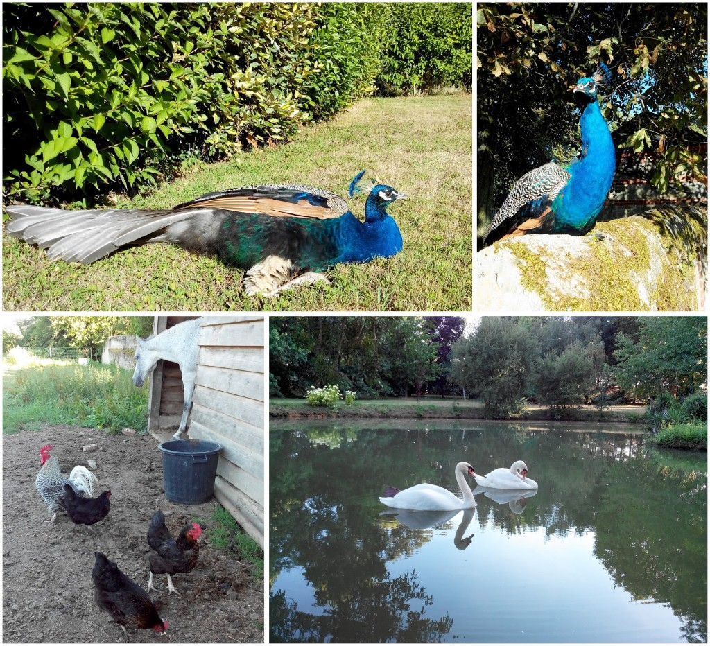 animaux-paon-cheval-poule-cygne-anger-bullelodie