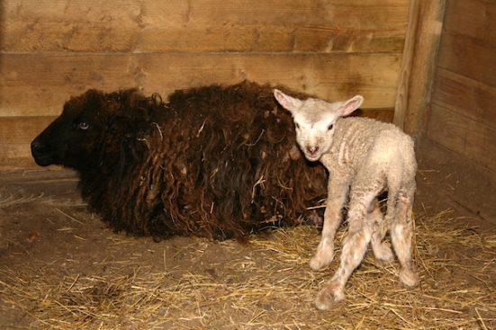 019x-ewe-and-lamb-551x367