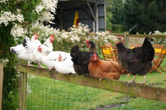 IMG_0558-les-poules-551x367