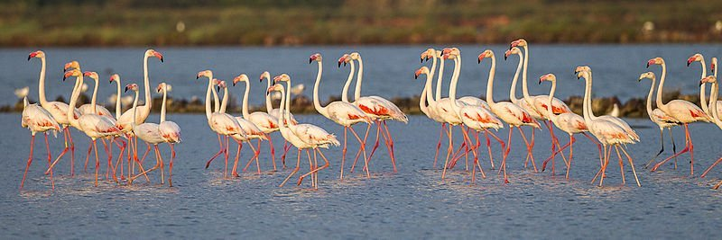Sardinian pink flamingos, Italy.