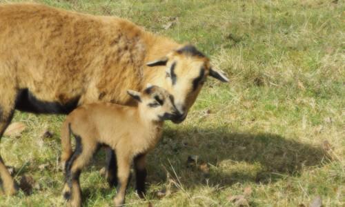 lamb-1024x650-500x300