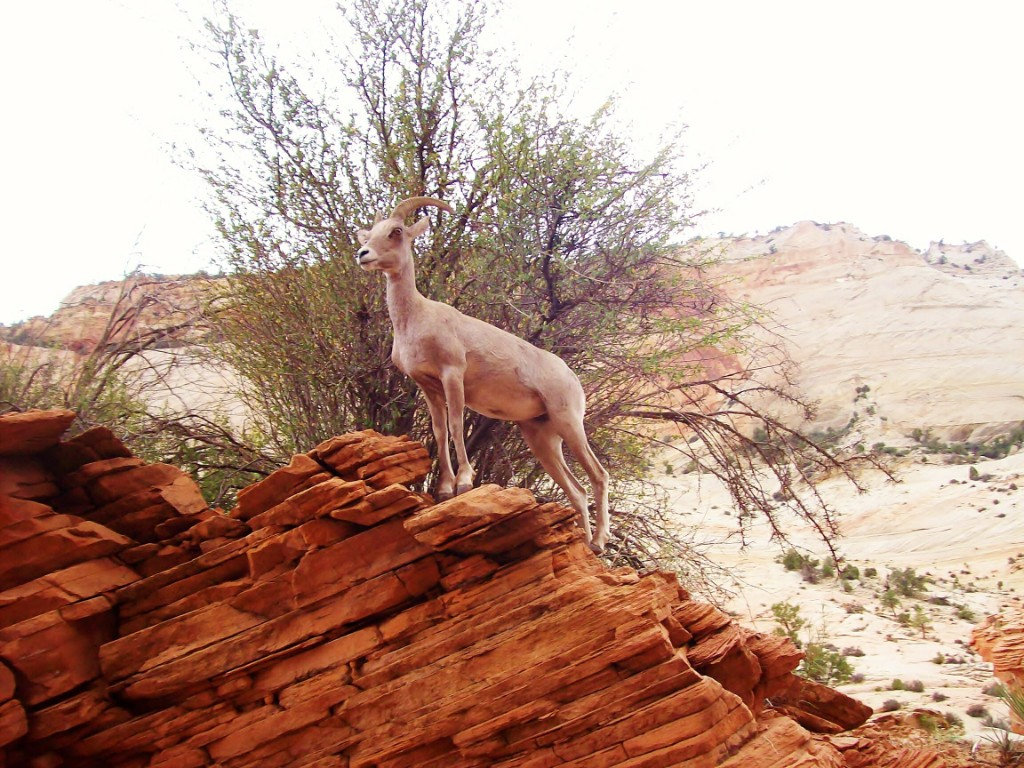 AH-Zion-Mountain-Goat-8-13